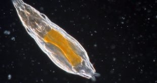 A microscopic animal has been revived after slumbering in the Arctic permafrost for 24,000 years.
